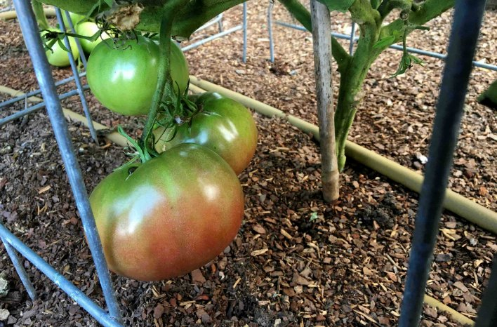 Sunscald tomato-how to reduce the risk