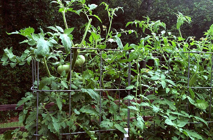 while pruning stimulates new growth it takes courage to cut off tomato laden branches