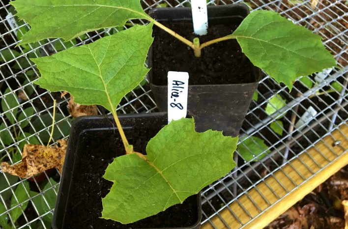 leaves sliced in half help balance the cutting's ability to manage respiration
