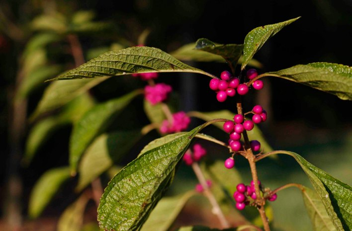 Beautyberry in fruit