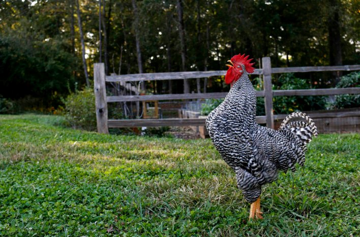 rooster crowing at the GardenFarm