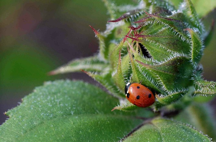 Lady beetle is a beneficial insect