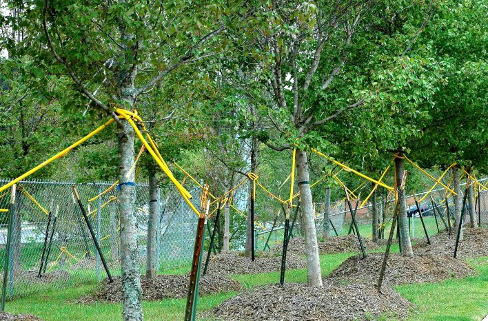 staked trees