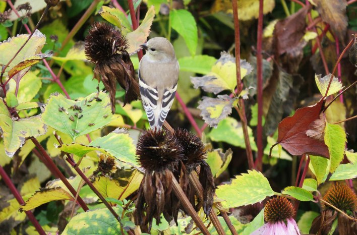 Goldfinch dining on purple coneflower