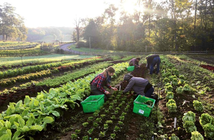 harvesting organic produce for Blue Hill at Stone Barns