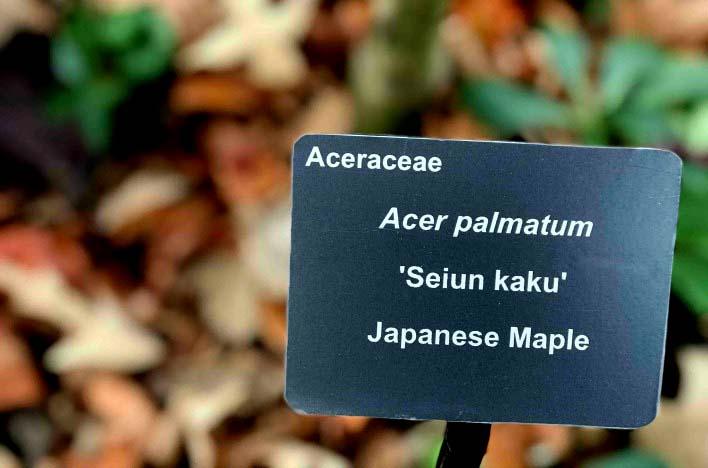 Botanical latin for Acer palmatum - Genus + Specific epethet
