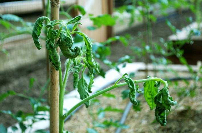 Big Mistake using killer compost on this tomato plant