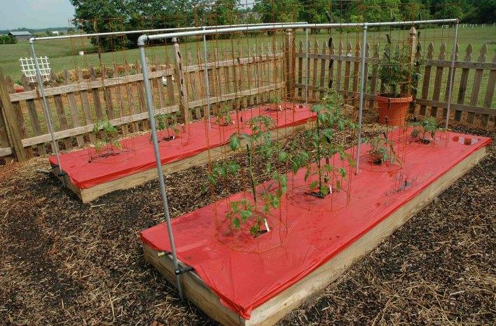 red plastic mulch under tomato plants
