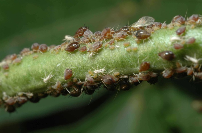 aphids on plant stem