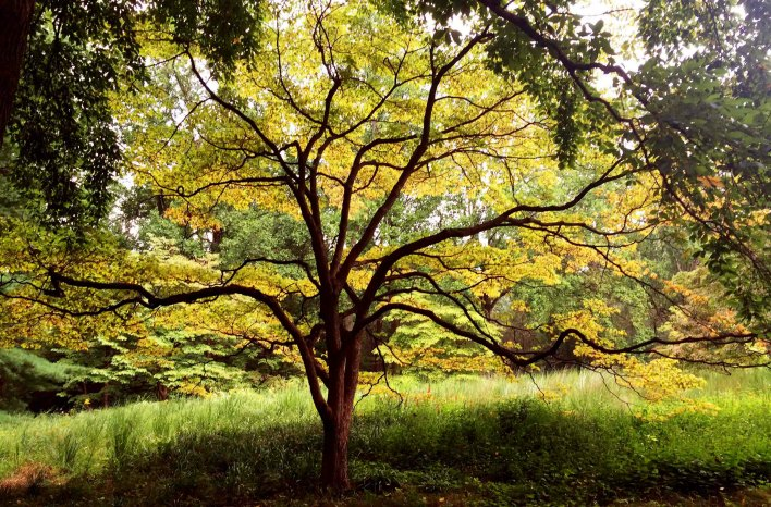 Well-pruned japanese maple