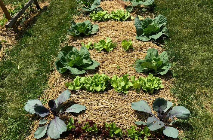 Interplanted lettuce