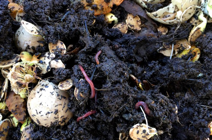 Earthworms in compost