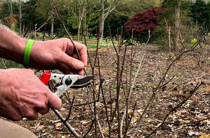 Spring shrub pruning