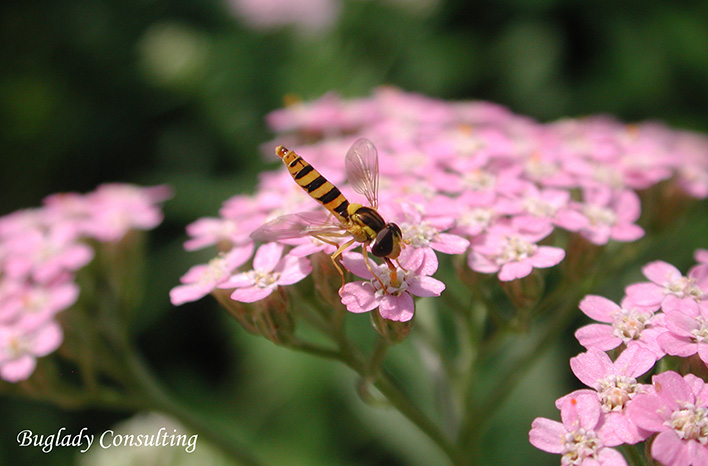 Syrphid fly on yarrow