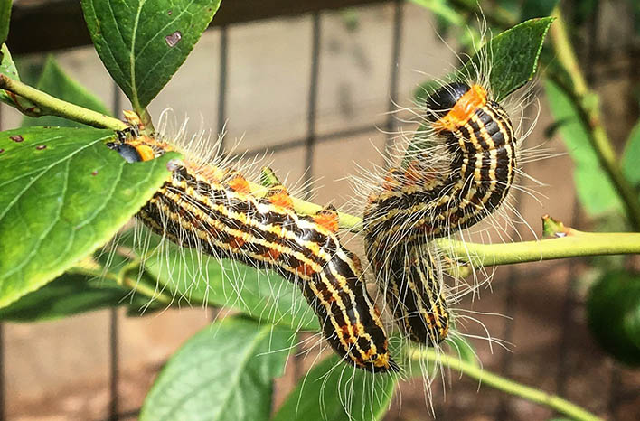 Yellownecked caterpillar