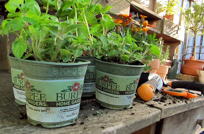 Plants in biodegradable containers