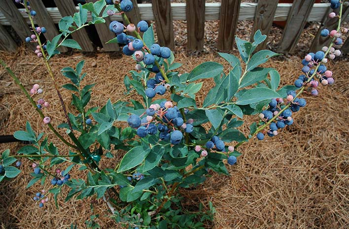 GardenFarm blueberries