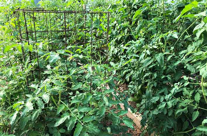 Concrete reinforcing wire tomato cage