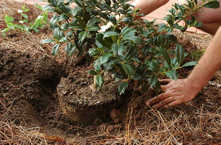 Planting a holly shrub