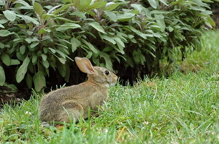 Rabbits are common wildlife pests
