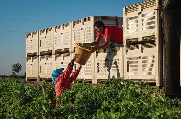 Harvesting FL tomatoes