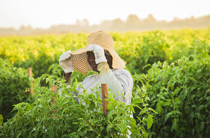 Worker in a Florida tomato field