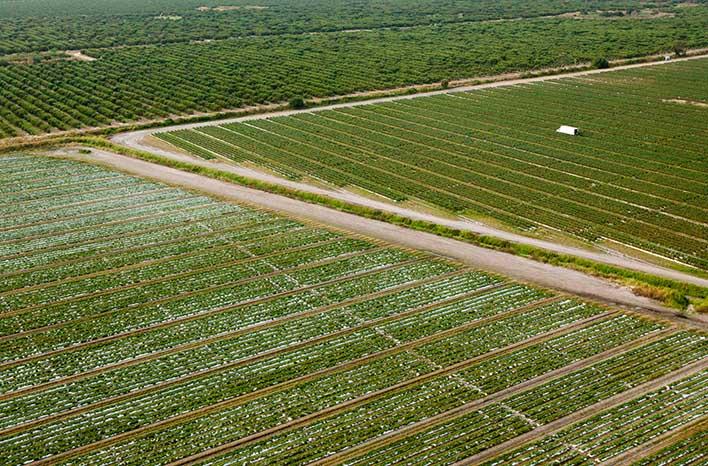 Florida tomato field
