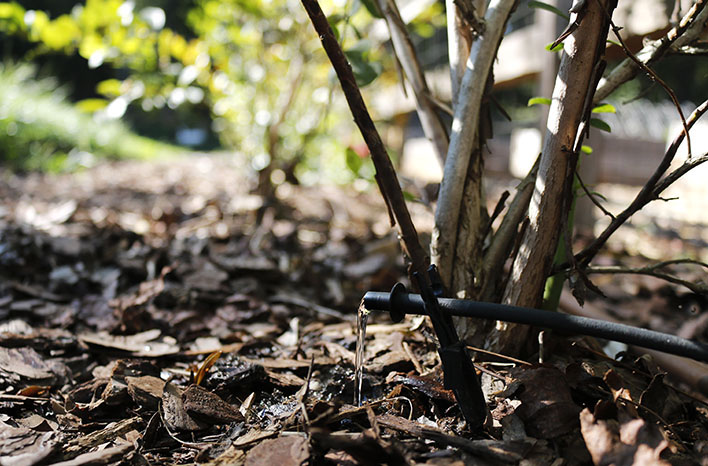 A common garden mistake is improper watering. Consider drip irrigation for efficient water delivery.
