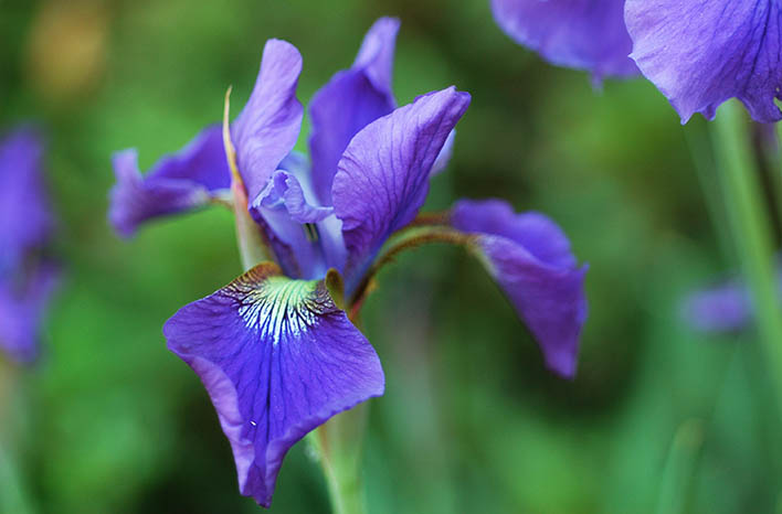 Dividing plants - Iris