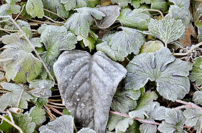 Frost on foliage
