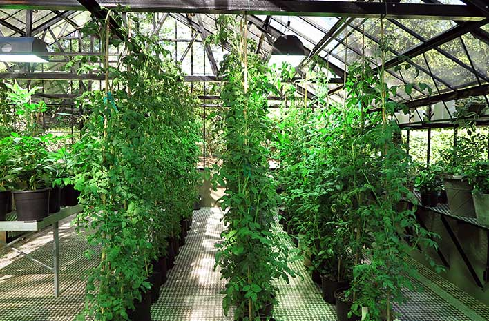 Tomato vines growing in a greenhouse with supplemental lights is an example of lighting plants indoors