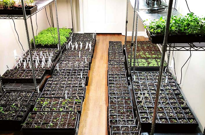 Seedlings growing indoors