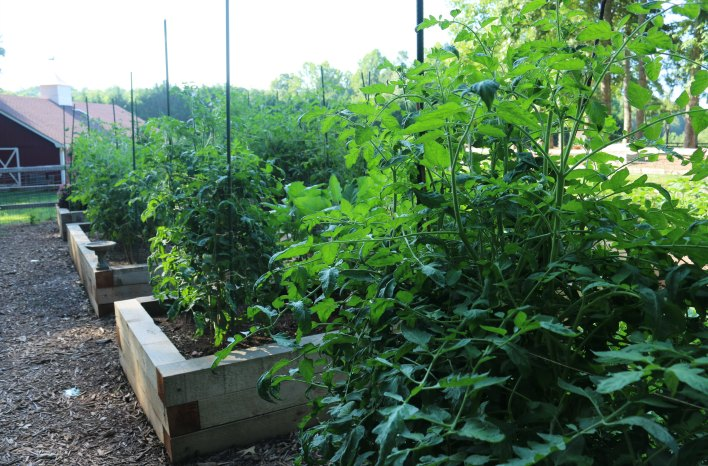 36 tomato plants growing in raised beds