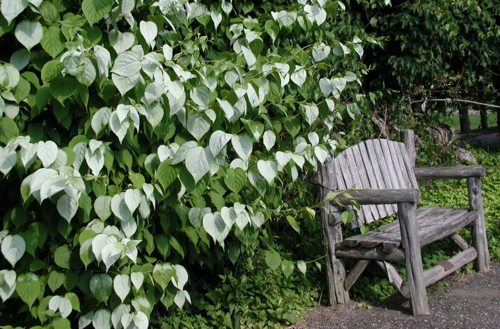 hardy kiwi attractive white foliage