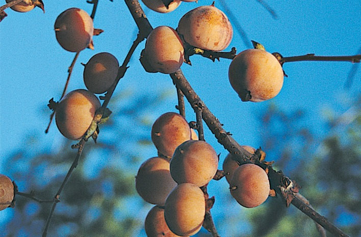 American persimmon fruit on leafless branches