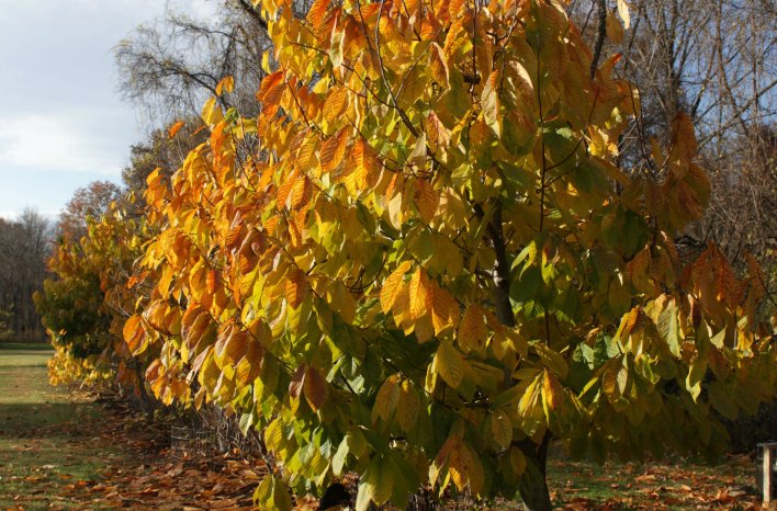 pawpaw tree in fall color of orange and yellow