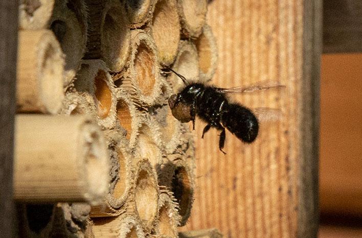 mason bee carrying mud