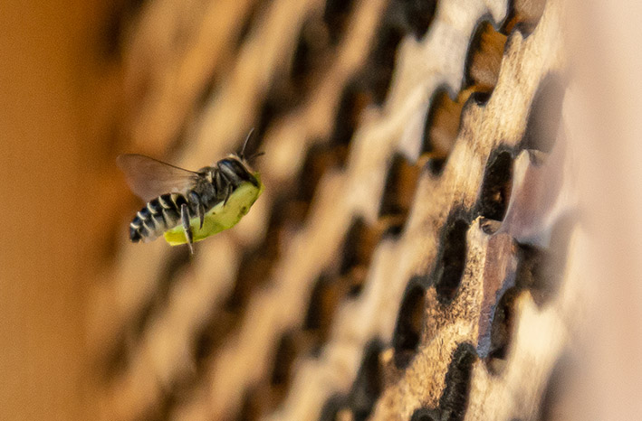 summer leafcutter bee