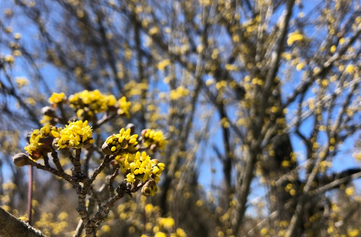 Cornelian cherry in bloom