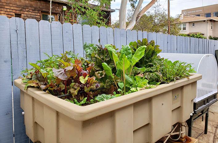 LLeafy greens in an urban garden container