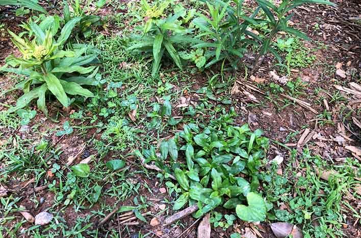 weeds in a landscape bed