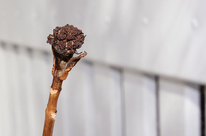 Unopened hydrangea blossom