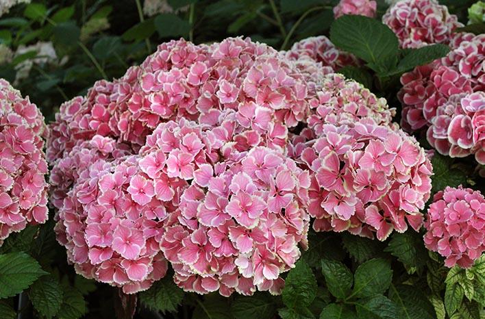 "Hydrangea Macrophylla ""Mystery"""