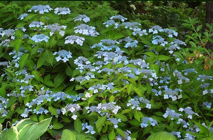 "Hydrangea Serrata ""Blue Billow"""
