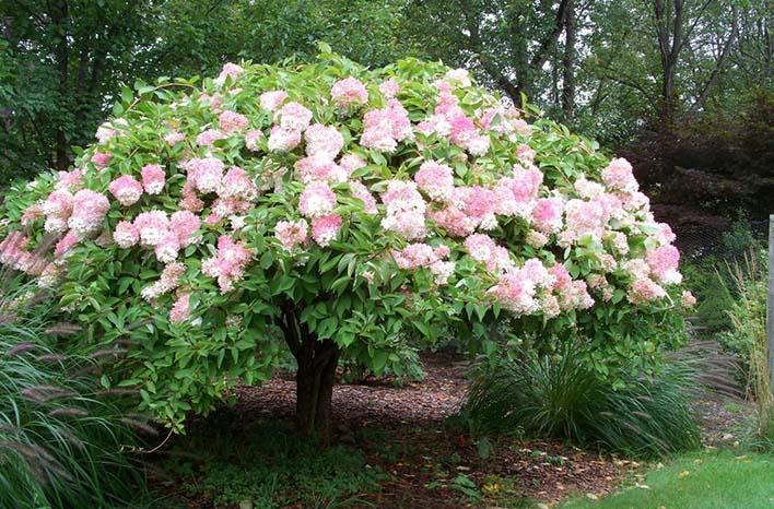 Hydrangea pruned to tree form
