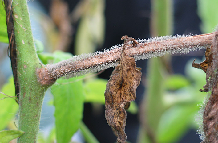 Gray mold plant disease