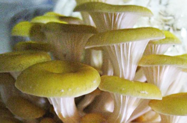 mushrooms and mycoremediation