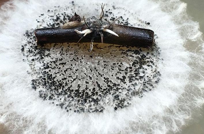 Cordyceps mushroom attacking scale
