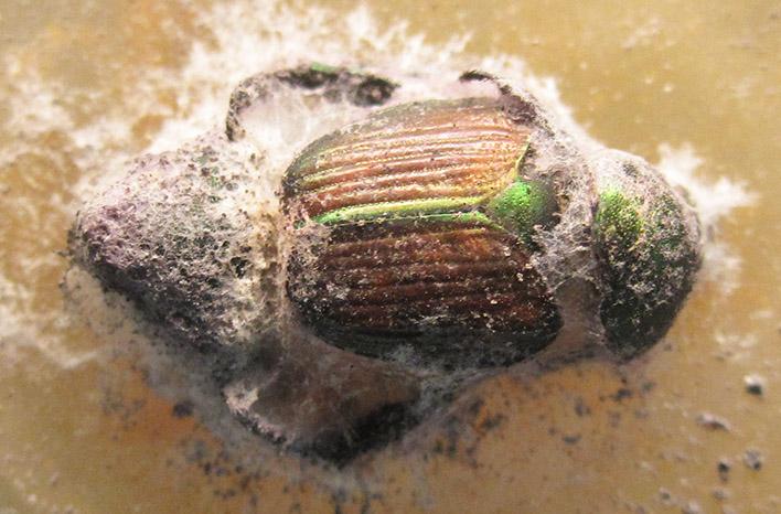 Mummified Japanese beetle