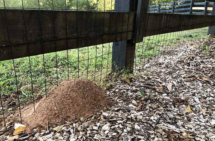 fire ant mound at the GardenFarm